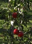 Äpfel - gewichtig