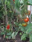 Tomate und Paprika