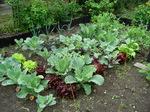 Mitte Juni in unserer Kleingartenanlage: Mischkultur mit Salaten, Kohlrabi, Porree, verschiedene Kohlsorten; rechts außen Zuckererbsen; am Zaun Heidelbeeren
